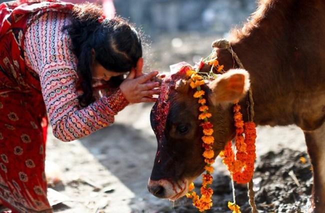 आज तिहारको चौथो दिन : गाई, गोरु र गोरु जोत्ने हलीको पुजा गर्दै